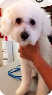 Maltese/Poodle (Miniature) Mix Dog for adoption in Thousand Oaks, California - Jaiden