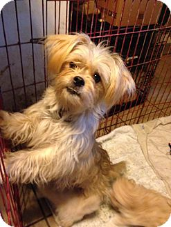 Yorkie, Yorkshire Terrier Mix Dog for adoption in Morgantown, West Virginia - Nyla