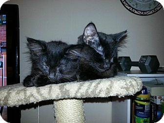 Domestic Longhair Kitten for adoption in Livonia, Michigan - Oliver