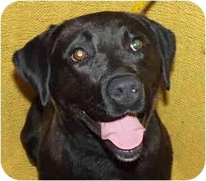 Labrador Retriever Mix Dog for adoption in Aledo, Illinois - China