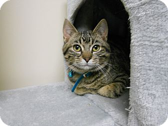 Domestic Shorthair Kitten for adoption in South Range, Wisconsin - Huey