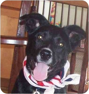 Border Collie Mix Puppy for adoption in Chapel Hill, North Carolina - Murray