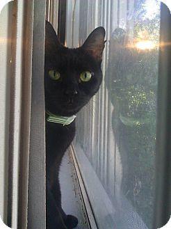Bombay Cat for adoption in Van Alstyne, Texas - Gidget