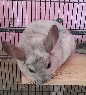 Chinchilla for adoption in Granby, Connecticut - Petrie - NH