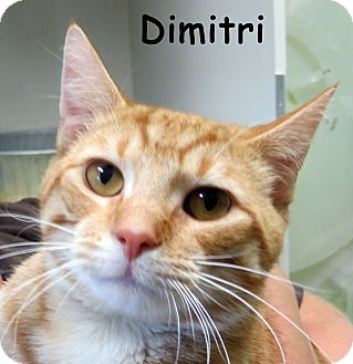 Domestic Shorthair Cat for adoption in Warren, Pennsylvania - Dimitri