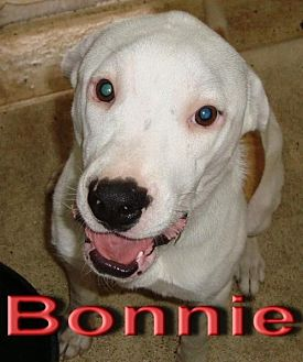 Pit Bull Terrier Mix Dog for adoption in Coleman, Texas - Bonnie