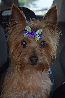 Yorkie, Yorkshire Terrier Dog for adoption in Statewide and National, Texas - Ellie