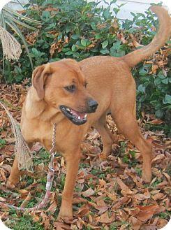 German Shepherd Dog/Rhodesian Ridgeback Mix Dog for adoption in Hillsboro, Ohio - Buster