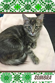 Domestic Mediumhair Kitten for adoption in Mansfield, Texas - Sombra