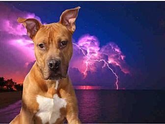 Pit Bull Terrier Dog for adoption in Fairfield, California - LEO