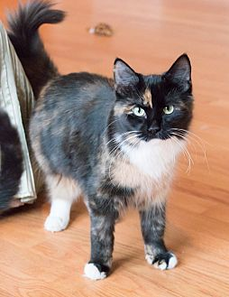 Calico Cat for adoption in Chicago, Illinois - Angel