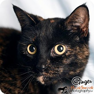 Domestic Shorthair Cat for adoption in Broadway, New Jersey - Ginger