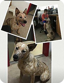 Australian Cattle Dog Mix Dog for adoption in Mayflower, Arkansas - Sweet Girl