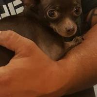 Adopt A Pet :: 35748411 - Mesquite, TX