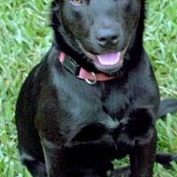 Labrador Retriever Mix Dog for adoption in San Jose, California - Apollo