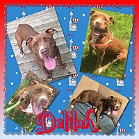 Adopt A Pet :: Delilah - siler city, NC