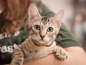 Domestic Shorthair Kitten for adoption in Dallas, Texas - Cricket