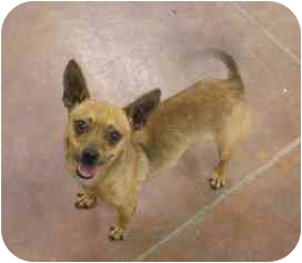 Chihuahua Mix Puppy for adoption in Patterson, California - SPENCER