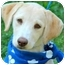Photo 1 - Labrador Retriever Puppy for adoption in Pawling, New York - MOLLY