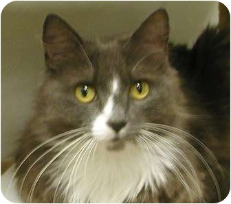 Domestic Longhair Cat for adoption in San Diego, California - Molly