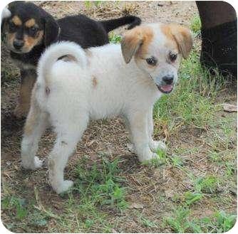 Samoyed/Labrador Retriever Mix Puppy for adoption in Manchester, Vermont - Mandy