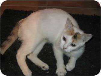 Calico Cat for adoption in Warren, Ohio - Peanut - pending