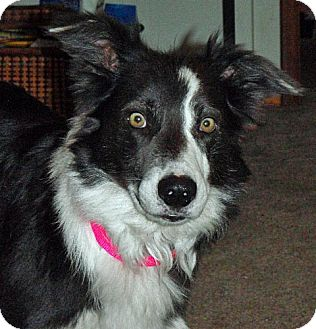 Border Collie Mix Dog for adoption in Glenrock, Wyoming - Maddy