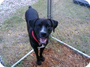 Boxer/Labrador Retriever Mix Dog for adoption in Walker, Louisiana - HERCULES