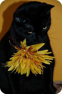 Domestic Shorthair Kitten for adoption in Flower Mound, Texas - Hoodini