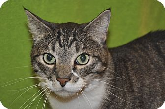 Domestic Shorthair Cat for adoption in Foothill Ranch, California - Max
