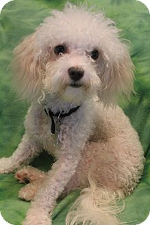 Poodle (Miniature)/Bichon Frise Mix Dog for adoption in Bedminster, New Jersey - Bailey