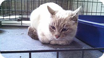 Siamese Cat for adoption in El Dorado Springs, Missouri - Storm