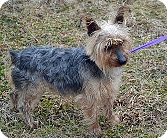 Yorkie, Yorkshire Terrier Mix Dog for adoption in Searcy, Arkansas - Murry