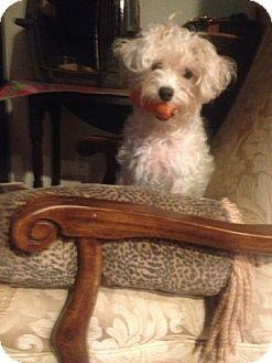 Maltese Dog for adoption in Miami, Florida - Baby