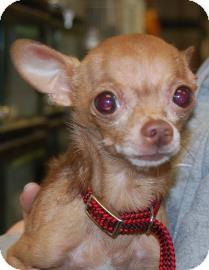Chihuahua Mix Dog for adoption in Brooklyn, New York - Antonio