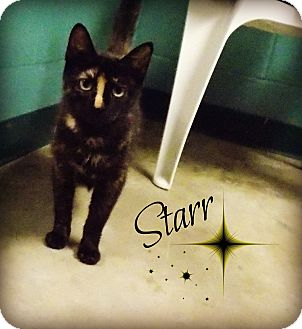 Domestic Shorthair Cat for adoption in Defiance, Ohio - Starr