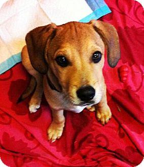 Hound (Unknown Type) Mix Puppy for adoption in Mount Juliet, Tennessee - Jake