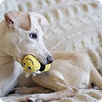 Adopt A Pet :: Super Sweet Silk - Madison, NJ