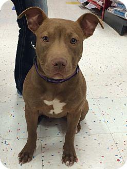 Pit Bull Terrier/Terrier (Unknown Type, Medium) Mix Puppy for adoption in Bryan, Texas - Bristol