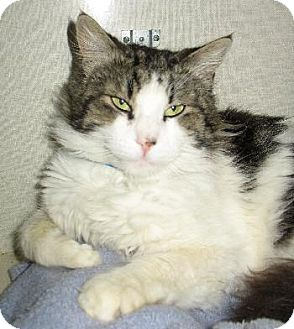 Maine Coon Cat for adoption in Oakland, California - Drake