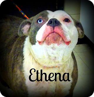 Pit Bull Terrier Dog for adoption in Defiance, Ohio - Ethena