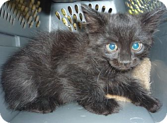 RagaMuffin Kitten for adoption in Dallas, Texas - Charcoal and Cinder