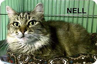 Domestic Mediumhair Cat for adoption in Medway, Massachusetts - Nell