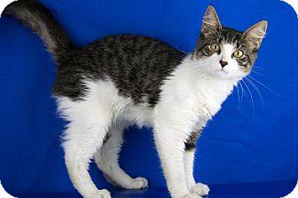 Domestic Shorthair Cat for adoption in LAFAYETTE, Louisiana - Jasper