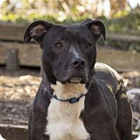 Adopt A Pet :: Nikki - Port Washington, NY