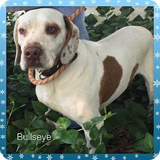 Pit Bull Terrier/Beagle Mix Dog for adoption in Boston, Massachusetts - Bullseye