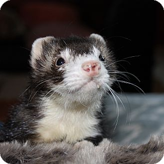 Ferret for adoption in Chantilly, Virginia - Franklin