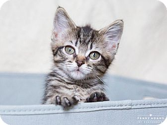 Bengal Kitten for adoption in Nashville, Tennessee - Bern