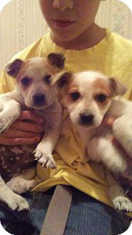 Australian Cattle Dog/Blue Heeler Mix Puppy for adoption in Chandler, Arizona - Bug and boo