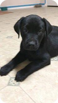 Labrador Retriever Mix Puppy for adoption in Conesus, New York - Jade